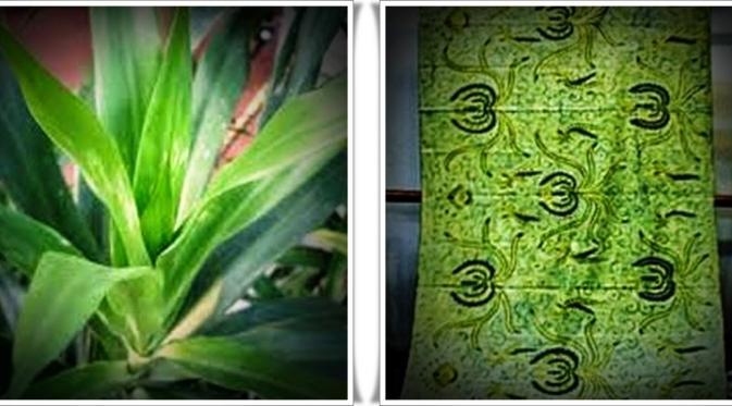 Daun Suji - Pewarna Alami Tekstil warna hijau