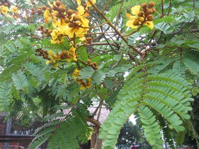 Pohon Soga